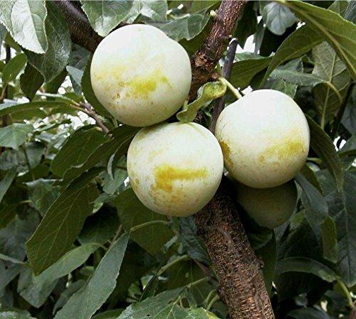 Pflaumenbaum, Oullin, Busch-Baum, Steinobst, Pflaume gelb, 120 - 150 cm, im Topf, mit Dünger, Prunus domestica, Obstbaum winterhart, EVRGREEN