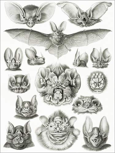 Poster 60 x 80 cm: Fledermäuse, Köpfe und Gesichter von Ernst Haeckel - hochwertiger Kunstdruck, neues Kunstposter