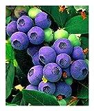 Exotic Plants mirtillo - - 20 semi