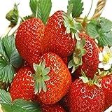 AGROBITS Fd796 Straw Samen Nahrhafte Köstlichen Früchte Samen Strawberrie Red 50Pcs # Z
