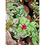 [Sponsored]poudha.com Rose Multi Color Plant Outdoor Multicolor Live Flowering Plant