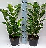 5 Kirschlorbeer 100 - 100 cm Prunus lauro .Novitas 2,5-3 Meter Hecke