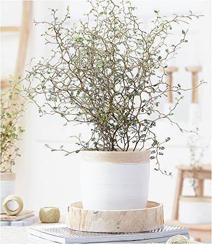 BALDUR-Garten Maori® Sophora Cotoneaster