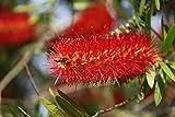 Callistemon Australischer Lampenputzer Zylinderputzer Zierpflanze Zitronenduft - verschiedene Größen (50-70cm - 3 Ltr.)