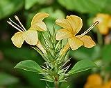 #8: 1.5-2 Feet Height Live Plant - (YELLOW) Barleria prionitis/kuranta / vjradanti (वज्रदंती) / சுள்ளி மலர் / Tagalog: kukong manok) / Porcupine flower Live Plant - 1 Healthy Live Plant