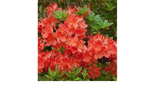 Zwerg Alpenrose Japanische Azalee Brilliant Orange 20-25cm Rhododendron obtusum