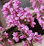 15x Cercis chinensis Chinesischer Judasbaum Pflanze frische Samen Garten B878