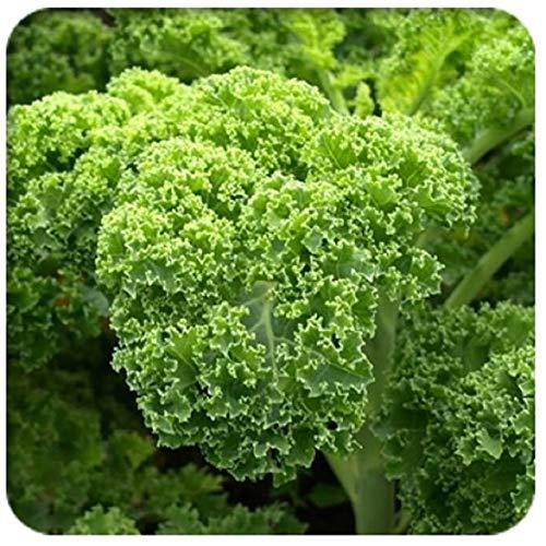 AGROBITS Chou brocoli Chou-fleur pourpre bonsaïs vert coeur de boeuf Plume Spore Chou bonsaïs: 10seeds vert Potted