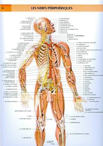 Le corps humain, planches murales d'anatomie. Les nerfs périphériques
