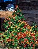 Potseed . Blumensamen: Nasturtium Veränderte Super-Mixed Seeds Winterblumen Garten Heim Balkon Garten [Home Garten Samen Eco-Pack] Pflanzensamen