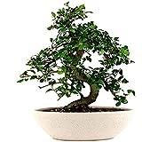 The Bonsai Plants Delightful Chinese Elm Bonsai Live Plant
