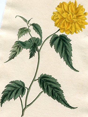 Corchorus Japonicus, var. ß flore pleno - Double-Flowered Japan Corchorus. Altkolorierter Kupferstich (Aus: Curtis' Botanical Magazine, No. 1296).