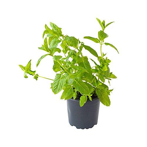 Spearmint-Pflanze im großen Topf - feinste Grüne Minze in bester Gärtnerqualität - ideal für Kräutergarten - aromatischer Duft - Pfefferminz-mundwasser