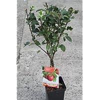 Nano da giardino frutta, Apple- varietà Cox del Orange- circa 1m di altezza -