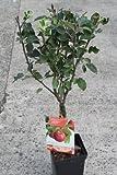 Zwergwüchsiger Obstbaum - Apfelbaum - Sorte: Cox Orange - ca. 1,0 m hoch