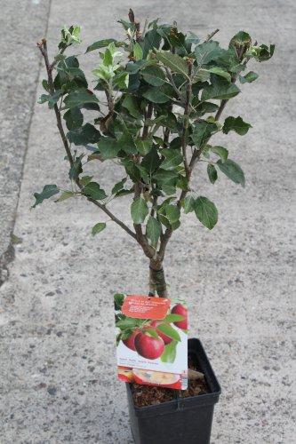 dwarf-patio-fruit-tree-apple-variety-coxs-orange-approx-1m-tall-