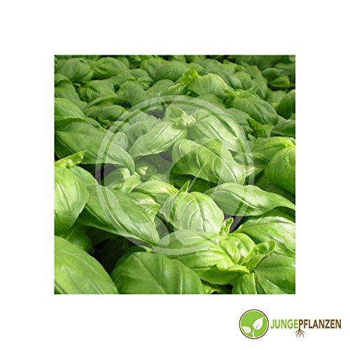 Kräutersamen - Basilikum / Ocimum basilicum - verschiedene Sorten(mittelgroßblättrig / grün)