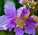 Orchideenbaum - mehrfarbig - Bauhinia variegata - Samen