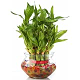 SMZ Brandlines Two Layer Lucky Bamboo Plant with Big Round Glass Pot (Free Seven Color Jelly/Crystal Ball Included)