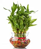#5: SMZ Brandlines Two Layer Lucky Bamboo Plant with big round glass pot (free seven color jelly/ crystal ball included)