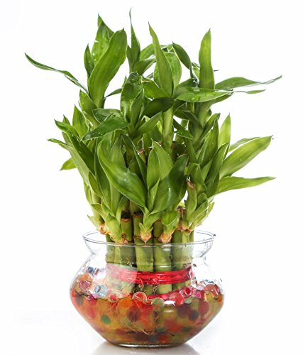 SMZ Brandlines Two Layer Lucky Bamboo Indoor Plant With Big Round Glass...
