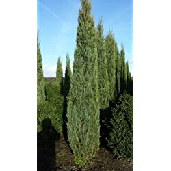 blauer Raketen Wacholder Juniperus scopulorum Blue Arrow 50-60 cm hoch im 4 Liter Pflanzcontainer