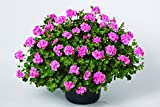 Geranien hängend (Pelargonium peltatum) 'rosa gefüllte' 3 Pflanzen im 12er Topf