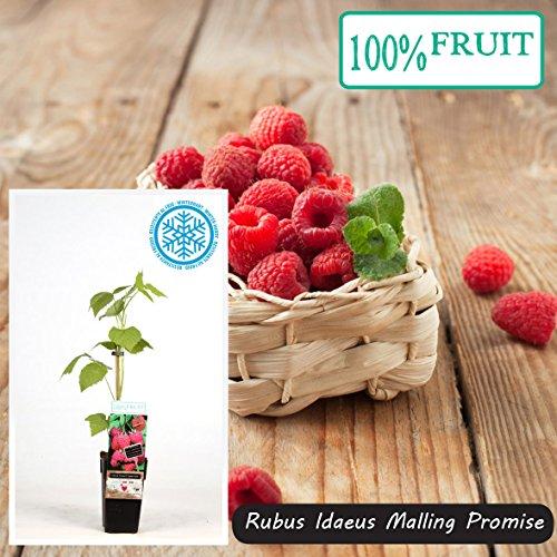 Inter Flower -Himbeere - Rubus idaeus Malling Promise sehr ertragreiche Himbeere