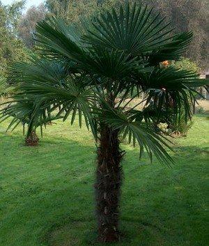 Indische Hanfpalme - Trachycarpus fortunei 'Darjeling' - 10 Samen