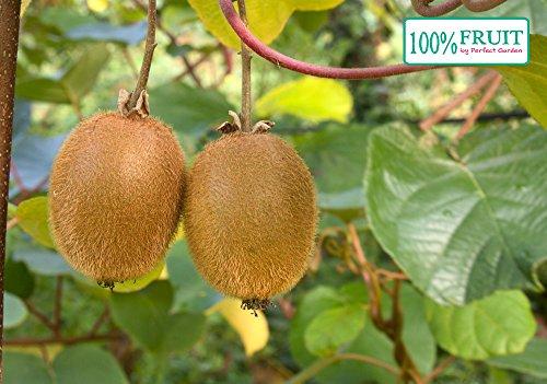 selbstfruchtende Kiwi Pflanze, (Actinidia deliciosa), Sorte: Jenny, kräftige winterharte Pflanze, (ca. 65cm hoch, im 14cm Topf)