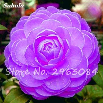 5 pièces rares Graines arc-en-Camellia fleurs, plantes en pot de bricolage, Lumière Parfumée Fleur intérieur, intérieur Bonsai planter des fleurs Semences 6