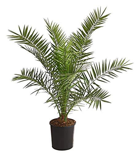 Dehner Kanarische Dattelpalme, immergrüne Federwedel, ca. 140-150 cm, Ø Topf 28 cm, Palme