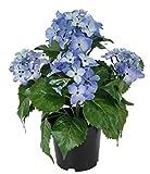 Flair Flower Hortensie Im Topf, Polyester, Kunststoff, Blau, 22 x 22 x 30 cm