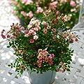 Neuheit Rose LillyRose? Mini-Strauchrose ØTopf 12cm von EPS GmbH - Du und dein Garten
