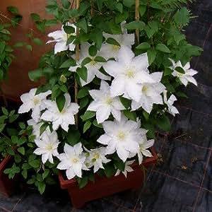 Clematis 'Madame le Coultre' - Schöne Kletterpflanze von