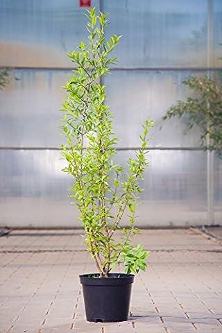 Schwarzgrüner Liguster Atrovirens, 60-100 cm, Hecke wintergrün-blühend, Busch für Sonne-Halbschatten, Gartenpflanzen winterhart, Liguster, im Topf