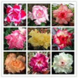 10 Pcs Adenium obesum Graines de Rainbow Desert Rose Graines Bonsai plantes Semences Maison et Jardin