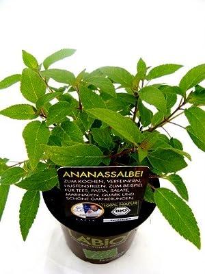 Bio Ananassalbei Kräuterpflanze von LÀBiO! Kräuter - Du und dein Garten