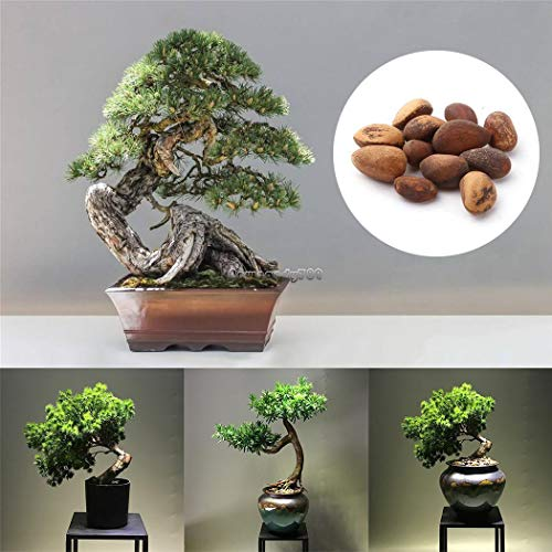 AGROBITS 5 Typ: New Bonsai Perennia Immergrüne Pflanze Pine Samen Baumsamen Ff 01