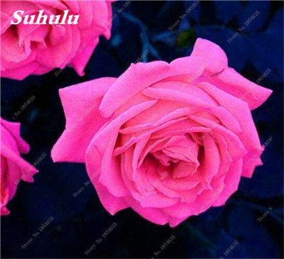 De nouvelles semences 2017! 24 Couleurs Rose Graines Plantes vivaces Rose pot de fleurs Graines cour et balcon extérieur Plant-150 Pcs 9