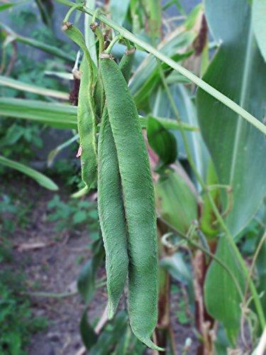 Prunkbohne, Feuerbohne 'Preisgewinner' (Phaseolus coccineus) 20 Samen Käferbohne