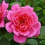 ROSE GEMMA-Superb Plant & Rose Gift To Send For All Gift Occasions