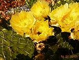 10 Samen Opuntia phaeacantha, Opuntie, sehr winterhart, nässeunempfindlich, Feigen Kaktus