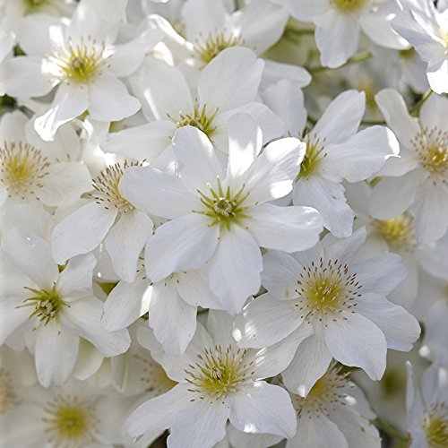 Hardy evergreen clematis avalanche climber flowering garden plant hardy evergreen clematis avalanche climber flowering garden plant white flowers mightylinksfo