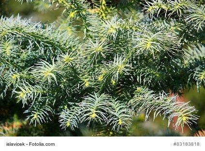 Chinesische Spießtanne Cunninghamia lanceolata China Fir 10 Samen SELTEN