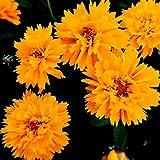 Portal Cool 120: 60/120 Seeds Coreopsis gelbes Halb Double/Blume Stauden