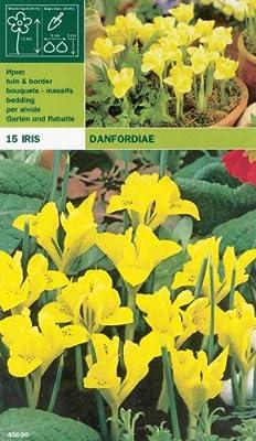 """Iris """" danfordiae """" 15 Zwiebeln von MOSSELMAN - Du und dein Garten"""