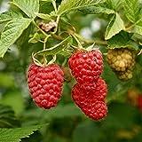 Bornbayb Framboise Fruit Plant Semences de Fruits Biologiques Stratifié Berry Graines de Plantes pour La Maison Jardin Plante Facile à Grandir
