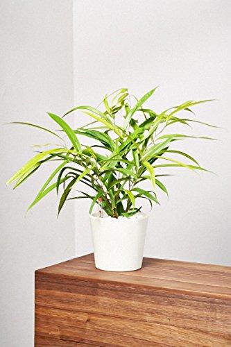 evrgreen-birkenfeige-ficus-benjamini-zimmerpflanze-in-hydrokultur-im-set-inkl-keramiktopf-creme-ficu