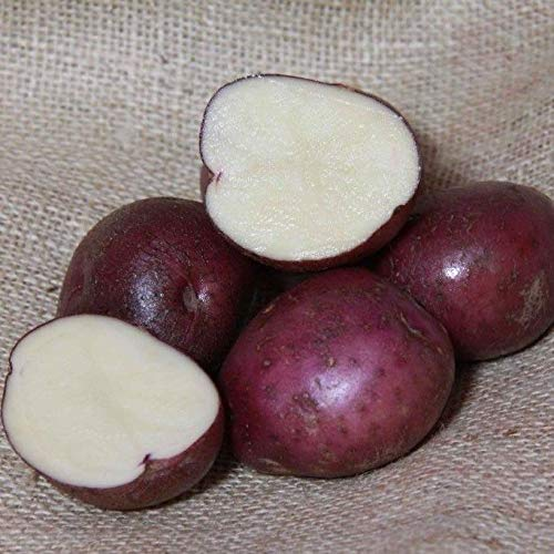 Preisvergleich Produktbild Portal Cool 20: Arran Victory Saatkartoffeln - Certified Irish Seed (Klasse Se) Maincrop